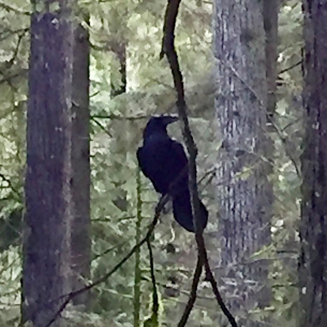 Ravens_out_laughing_at_hikers_braving_slippery_trails._I_gave_them_a_lot_to_laugh_about.__raven__wildbird__lynncanyon__wildernessculture - Copy